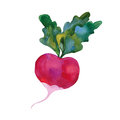 Watercolor Red Radish Royalty Free Stock Photography - 89024287