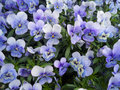 Bunch Of Violet Pansy, Viola Flowers Blooming In Spring Of The Netherlands Royalty Free Stock Photography - 89025107
