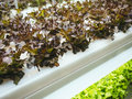 Greenhouse Vegetables Plant Row Grow With Led Light Indoor Farm Agriculture Stock Photography - 89052022