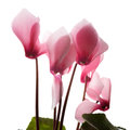 Blooming Cyclamen On A White Background. Stock Image - 89064771