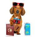 Dachshund Sausage Dog On Vacation Stock Images - 89067744