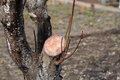 Rejuvenating Pruning Of Old Fruit Tree - Plum. Close Up. Stock Photography - 89089162