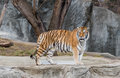 Tiger Standing At The Zoo Stock Image - 89103881