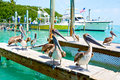 Big Brown Pelicans In Islamorada, Florida Keys Stock Images - 89124954
