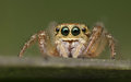 Jumping Spider - Salticidae Stock Photos - 89154813