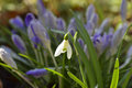 Snowdrop Royalty Free Stock Photography - 89164037