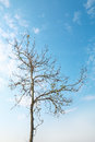 One Dry Tree On Blue Sky Royalty Free Stock Photos - 89179468