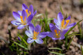 Worms Eye View Of Three Tiny Purple Crocus Blooms In Early Spring Sunlight Stock Photo - 89231770