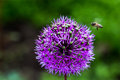 Onion Flower Royalty Free Stock Photography - 89237187