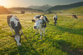 Herd Of Cows Grazing In Alps At Beautiful Sunrise Stock Photos - 89244283