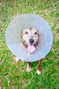 Dog Wearing Protective Collar Stock Images - 89296194