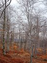 Forest Detail With Leafless White Bark Branches In Spring On A Cloudy Morning Royalty Free Stock Photos - 89324888