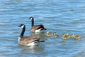 Family Of Canada Geese Swimming In Calm Water Stock Images - 89332474