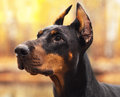 Young Beautiful Doberman And Malinois Dog Walking In Park In Summer Sunny Holiday Stock Images - 89379114