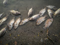 Dead Fish On The River. Dark Water Water Pollution Royalty Free Stock Photo - 89418215