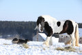 Nice Border Collie Playing With A Horse Stock Images - 89431484