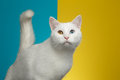 Portrait Of White Cat On Blue And Yellow Background Stock Photos - 89454003