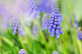 Blue Flowers In Garden Royalty Free Stock Photography - 89495777