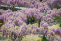 Japanese Wisteria Festival During Spring Time Stock Images - 89529534