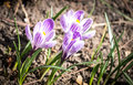 Crocus Flowers On The Flowerbed Stock Images - 89593974