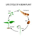 Life Cycle Of A Bean Plant Royalty Free Stock Images - 89668879
