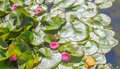Pink Water Lily Royalty Free Stock Photos - 89741608