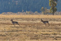 Rutting Pronghorn Buck And Doe Stock Images - 89758344