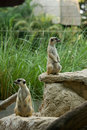 Meerkat Royalty Free Stock Image - 8986316