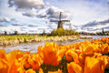 Traditional Dutch Windmill With Tulips In Zaanse Schans, Amsterdam Area, Holland Stock Photos - 89800913