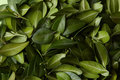 Green Leaves Texture Royalty Free Stock Photo - 89803725