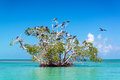 Mangrove Tree And Frigatebirds Stock Images - 89837024