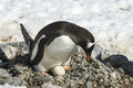 Adult Gentoo Penguin With Egg Stock Photography - 89837992