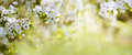 White Blossoms In Spring Sun Royalty Free Stock Photo - 89880855