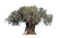 Old Olive Tree Stock Image - 89907451