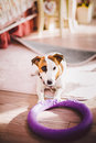 Small, Thoroughbred, Black And White Brown Dog In The House Royalty Free Stock Photos - 89966678