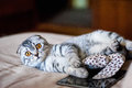 A Beautiful Scottish Fold Cat Lies Next To A Toy And A Web Tablet. A Cat Is Silver-colored With Orange Eyes. Royalty Free Stock Photos - 89967308