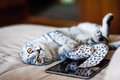 A Beautiful Scottish Fold Cat Lies Next To A Toy And A Web Tablet. A Cat Is Silver-colored With Orange Eyes. Royalty Free Stock Images - 89967339