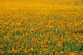 Boundless Yellow Field Of Sunflowers Royalty Free Stock Images - 89973149
