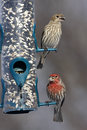 House Finches Stock Images - 89982554