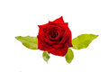 Red Rose Isolated Royalty Free Stock Photo - 89985655