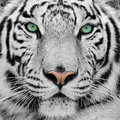 White Tiger Stock Photography - 9008802