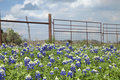 Texas Bluebonnets And Ranch Fence In The Hill Country Of Texas Stock Image - 90005611