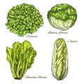 Cabbage And Lettuce Vegetable Isoletad Sketch Royalty Free Stock Photography - 90005977