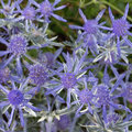 Eryngium Jade Frost Royalty Free Stock Photography - 90022817