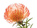 Red Protea Isolated Royalty Free Stock Image - 90032266