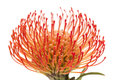 Red Protea Isolated Royalty Free Stock Photos - 90032288