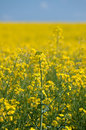 Oilseed Rape Stock Image - 90123081