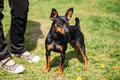 Black Miniature Pinscher Zwergpinscher, Min Pin Standing Near Woman Stock Photos - 90125003
