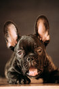 Young Black French Bulldog Dog Puppy With White Spot Yawning Indoor Stock Images - 90126224