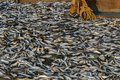 Rich Catch. Full Ship Of Fish. Fishing Dock In Southern India Royalty Free Stock Photos - 90152378